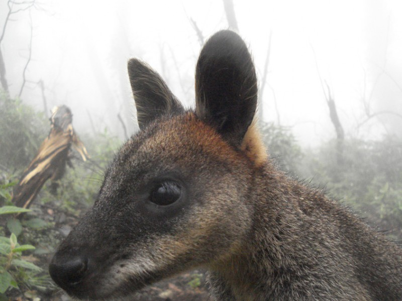 Black wallaby sniffs cautiously at a camera trap
