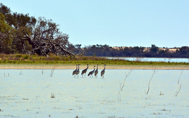 The iconic brolga is just one species that calls the Lake Eyre Basin home.
