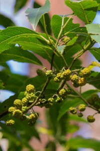 Austral mulberry.