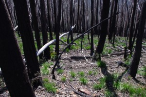 Fire damaged forest at Mt Wills, Victoria.