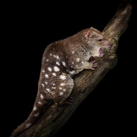 Tiger quoll by Doug Gimesy.