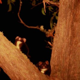 Greater gliders