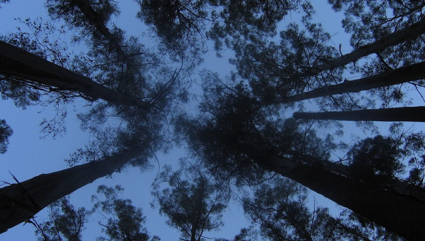 Eucalyptus regnans in Sherbrooke Forest, Vic.