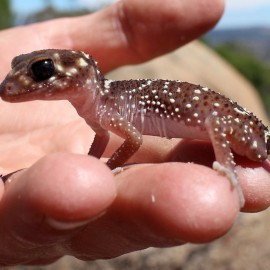 Thick tailed Gecko