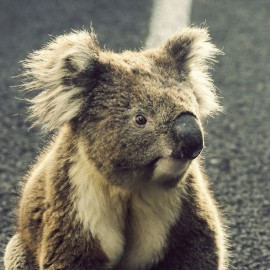 Koala on the road