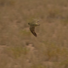 Night parrot fledgling in flight