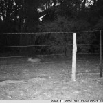 A fox dashes past the camera in the evening.