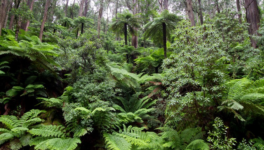 Kuark Forest in Gippsland