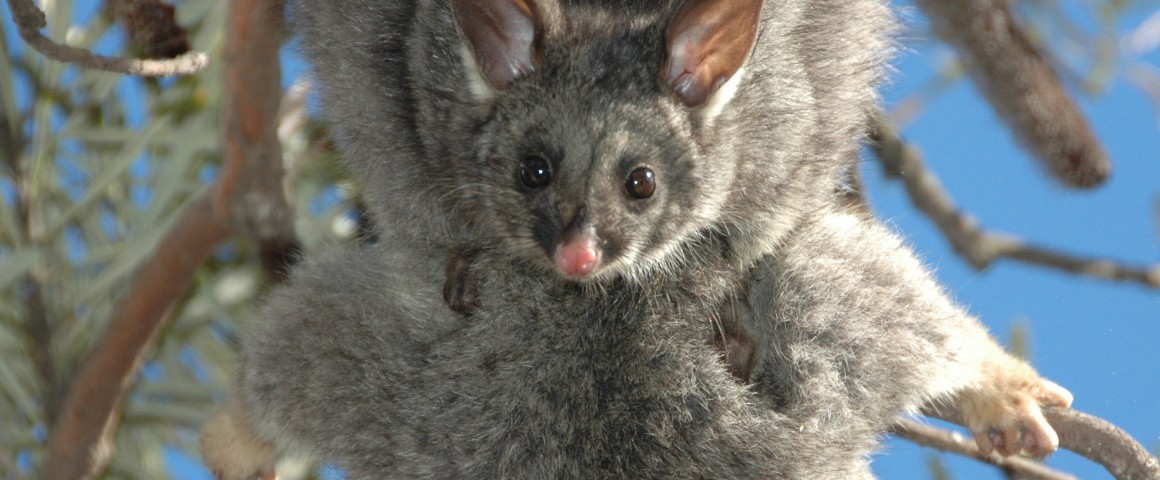 Koomal common brushtail possum