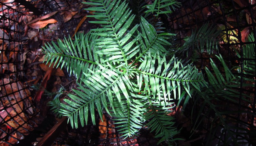 Wollemi pine seedling. Photo: Heidi Zimmer.