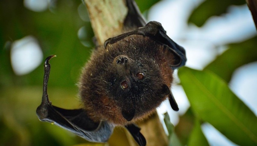Black-eared flying fox
