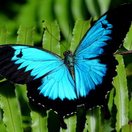 Ulysses swallowtail butterfly