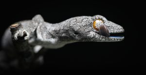 Eastern spiny-tailed gecko by Harrison Warne.
