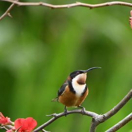 Eastern spinebill by Gio Fitzpatrick.